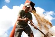Cresce 20% ao ano a produção de arroz sem agrotóxicos em assentamentos