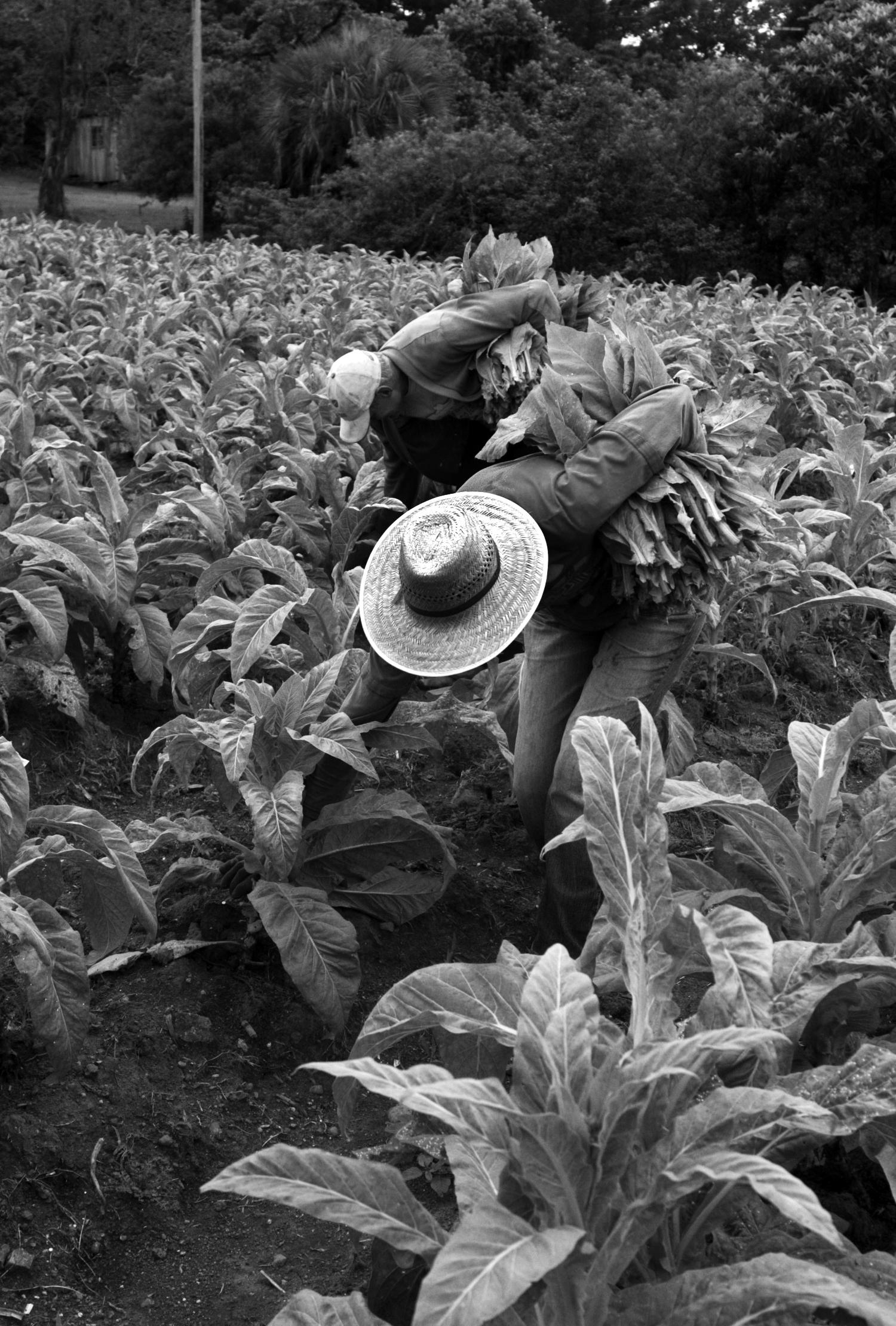 80% das famílias produzem tabaco na região