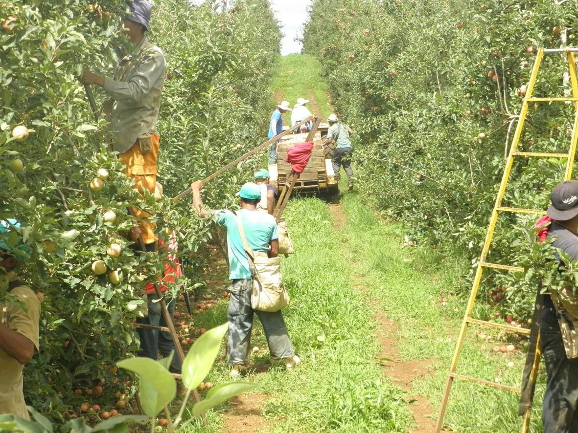 12 mil trabalhadores provenientes de várias localidades brasileiras espalham-se pelos pomares da região de Vacaria