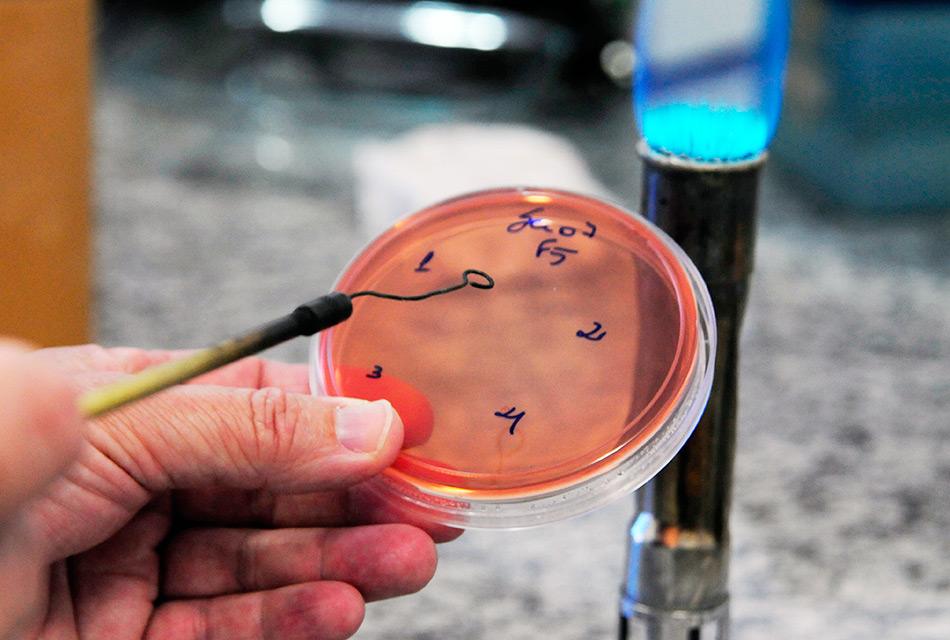 Cultura da bactéria Shigella sonnei, em laboratório no Instituto de Biologia (IB) da Unicamp