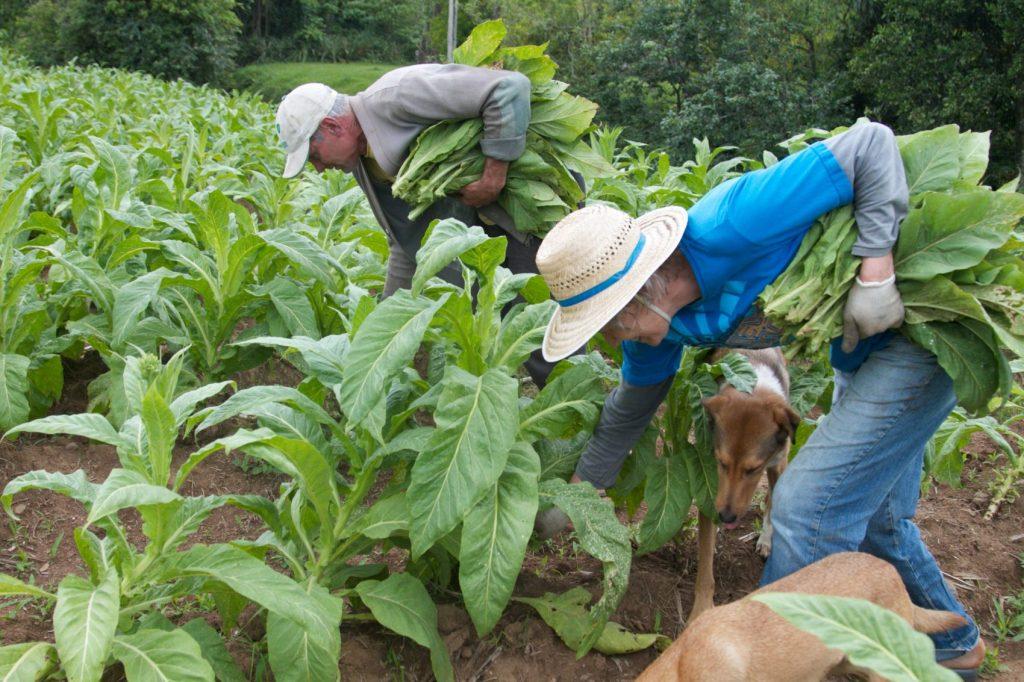 Ana Amélia e Heinze impedem leis que regularizam preço para fumicultores