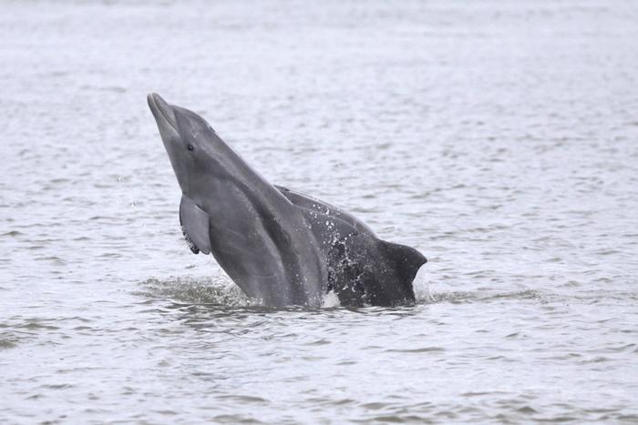 A população de botos da Barra pertence a uma espécie redescrita em 2015, que se distribui pela costa sul brasileira e argentina