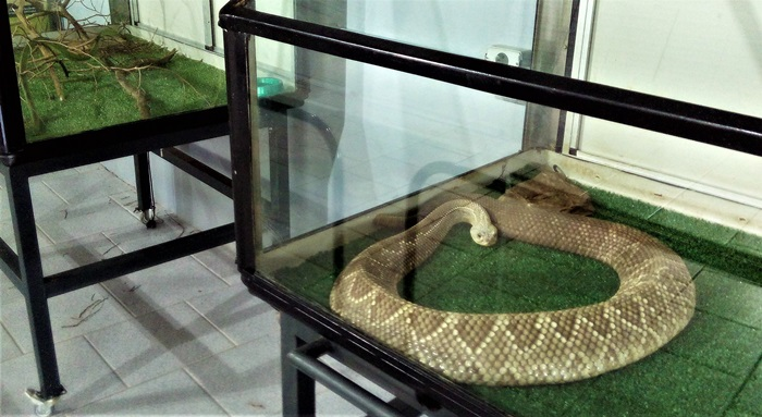 Espécies como a Cascavel, que fornece matéria-prima para a produção de soro antiofídico, estão em exposição no Serpentário