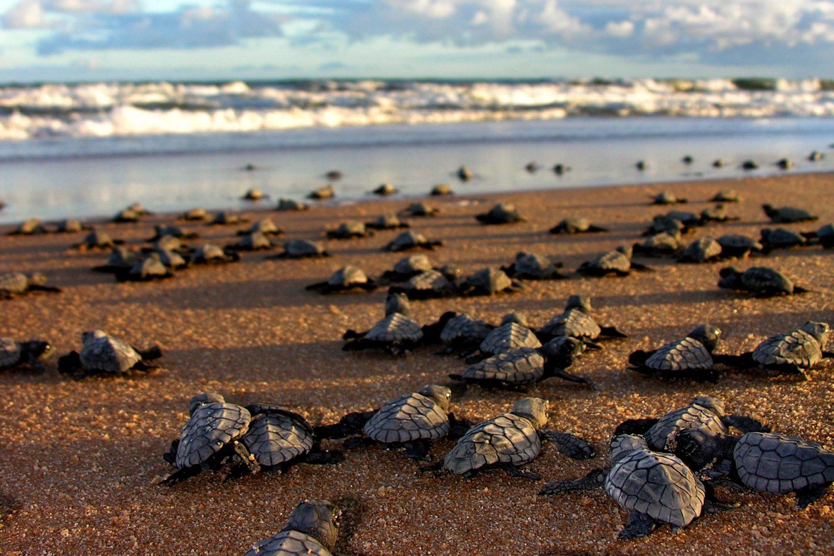 Ciclo de reprodução das tartarugas está em risco