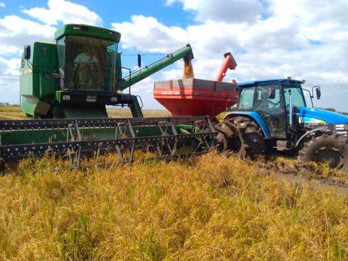 MST inicia colheira do arroz orgânico no RS | Foto: Divulgação MST