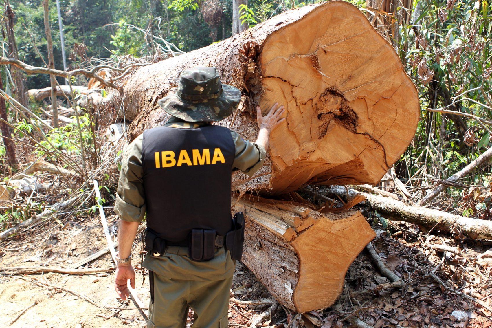 Oficial do Ibama inspeciona árvore cortada no maior esquema de desmatamento ilegal, grilagem de terras e trabalho escravo do país, descoberto pela Operação Rios Voadores