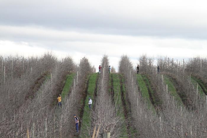 Fazenda de produção de maçãs, na Serra gaúcha, alvo de ações dos auditores fiscais do trabalho por exploração de mão de obra análoga à escravidão