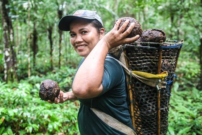 """Nilse Tavares, colhendo ouriços na mata. As capsulas escondem as amêndoas, ou o """"ouro da Amazônia"""", no dizer dos nativos"""
