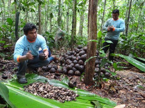 A nobre e pobre castanha-do-brasil | Foto: Divulgação/ Coopavam
