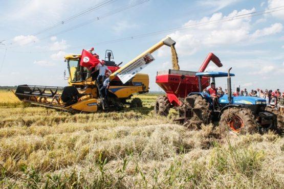 Sem Terra projetam safra de 12,4 mil toneladas de arroz orgânico | Foto: Leandro Molina/ MST